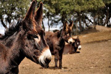 Conseguirá o burro de Miranda sobreviver ao risco de extinção?